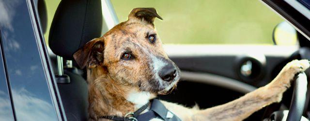 Sicurezza cani automobile